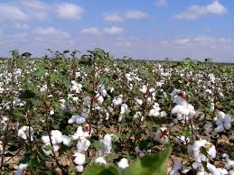 cotton growing