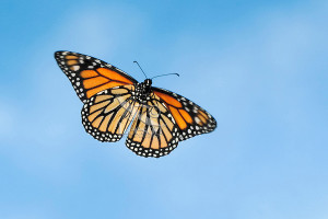 MONARCH BUTTERFLY in flight. North America. Danaus plexippus.